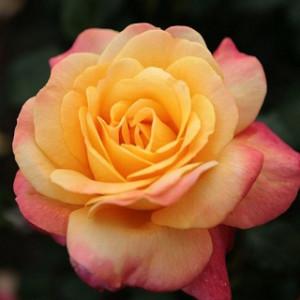 Чайно-гибридные розы  Kordes (Кордес), Германия Speelwark (Спилворк), Kordes