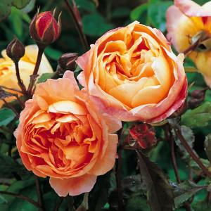 Кустовые розы (шрабы) David Austin (Дэвид Остин), Англия Lady Emma Hamilton (Леди Эмма Гамилтон), David Austin