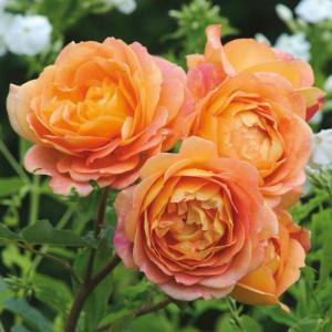Кустовые розы (шрабы) David Austin (Дэвид Остин), Англия Lady Of Shalott (Леди оф Шалотт), David Austin
