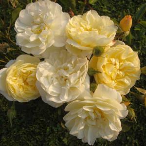 Розы Lens (Ленс), Бельгия Rosa La Feuillerie (Роза Ля Фёйри), Lens