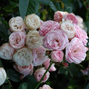 Розы Lens (Ленс), Бельгия Bouquet Parfait (Букет Парфе (Парфэ)), Lens
