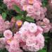 Розы Lens (Ленс), Бельгия Heavenly Pink (Хевенли Пинк), Lens
