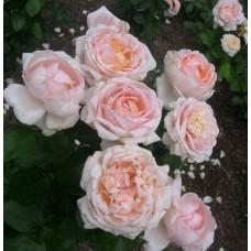 Чайно-гибридные розы Meilland (Мейян), Франция Andre Le Notre (Андре Ле Нотр), Meilland