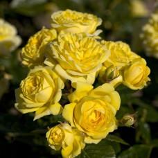 Кустовые розы (шрабы) Meilland (Мейян), Франция Anny Duperey (Анни Дюпрей), Meilland