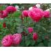 Чайно-гибридные розы Meilland (Мейян), Франция Line Renaud (Anton Tchekhov, Elbflorenz) (Лин Рено (Антон Чехов, Эльбфлоренц)), Meilland