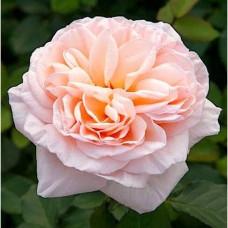 Чайно-гибридные розы Meilland (Мейян), Франция Belle Romantica, Alexandrine (Бель Романтика, Александрин), Meilland