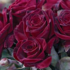 Чайно-гибридные розы Meilland (Мейян), Франция Black Baccara (Блэк Баккара), Meilland