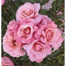 Розы флорибунда Meilland (Мейян), Франция Botticelli (Боттичелли), Meilland