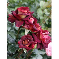 Чайно-гибридные розы Meilland (Мейян), Франция Eddy Mitchell (Эдди Митчел), Meilland