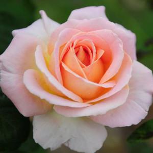 Чайно-гибридные розы Meilland (Мейян), Франция Elle (Эль), Meilland