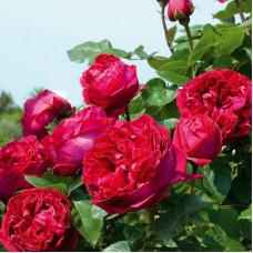 Кустовые розы (шрабы) Meilland (Мейян), Франция Eric Tabarly (Эрик Таберли), Meilland