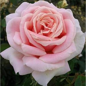 Чайно-гибридные розы Meilland (Мейян), Франция Frederic Mistral (Фридерик Мистраль), Meilland