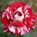 Чайно-гибридные розы Meilland (Мейян), Франция Julio Iglesias (Хулио Иглесиас), Meilland
