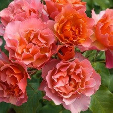 Розы флорибунда Meilland (Мейян), Франция Jean Cocteau (Жан Кокто), Meilland