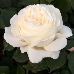 Чайно-гибридные розы Meilland (Мейян), Франция Jeanne Moreau (Жанна Моро), Meilland