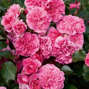 Кустовые розы (шрабы) Meilland (Мейян), Франция Les Quatre Saisons (Ле Катр Сэзон), Meilland