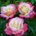 Чайно-гибридные розы Meilland (Мейян), Франция Laetitia Casta (Летиция Каста), Meilland