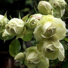 Розы флорибунда Meilland (Мейян), Франция Lovely Green (Лавли Грин), Meilland