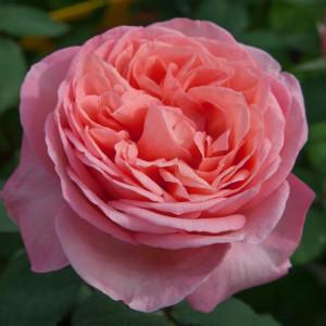 Чайно-гибридные розы Meilland (Мейян), Франция Mademoiselle Meilland (Мадмуазель Мейян), Meilland