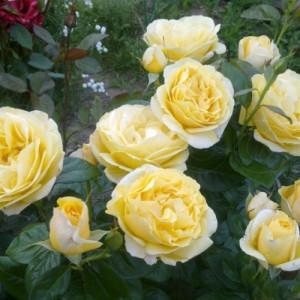 Чайно-гибридные розы Meilland (Мейян), Франция Michelangelo (Микеланджело), Meilland