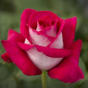 Чайно-гибридные розы Meilland (Мейян), Франция Monica Bellucci (Моника Беллуччи), Meilland
