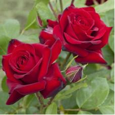 Розы флорибунда Meilland (Мейян), Франция Niccolo Paganini (Никколо Паганини), Meilland