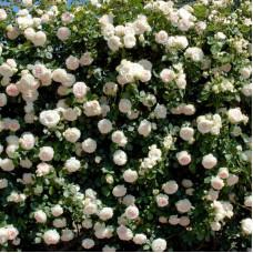 Плетистые розы Meilland (Мейян), Франция Palais Royal (Пале Рояль), Meilland
