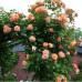 Плетистые розы Meilland (Мейян), Франция Polka (Полька), Meilland