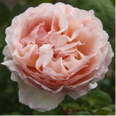 Чайно-гибридные розы Meilland (Мейян), Франция Princesse Charlene de Monaco (Принцесса  Шарлен де Монако), Meilland