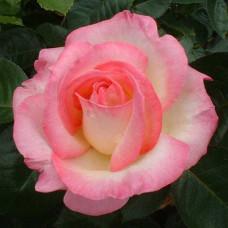 Чайно-гибридные розы Meilland (Мейян), Франция Princesse De Monaco (Grace Kelly, Princess Grace) (Принцесса Монако (Грэйс Келли, Принцесса Грейс)), Meilland