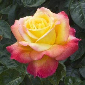 Чайно-гибридные розы Meilland (Мейян), Франция Pullman Orient Express (Пулмен Ориент Экспресс), Meilland