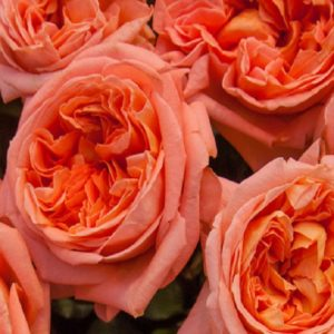 Чайно-гибридные розы Meilland (Мейян), Франция Rene Goscinny (Рене Госинни), Meilland