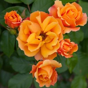 Розы флорибунда Meilland (Мейян), Франция Tequila (Текила), Meilland