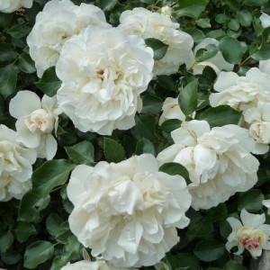 Кустовые розы (шрабы) Meilland (Мейян), Франция White Meidiland (Вайт Мейдиланд), Meilland