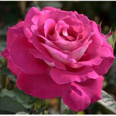 Чайно-гибридные розы Meilland (Мейян), Франция Barone Edmond de Rothschild (Барон Эдмон де Ротшильд), Meilland