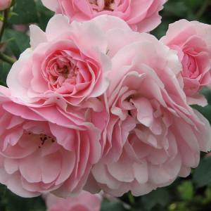 Кустовые розы (шрабы) Meilland (Мейян), Франция Bonica (Боника), Meilland