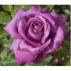 Чайно-гибридные розы Meilland (Мейян), Франция Claude Brasseur (Клод Брассер), Meilland