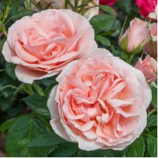 Чайно-гибридные розы Meilland (Мейян), Франция Donatella (Донателла), Meilland