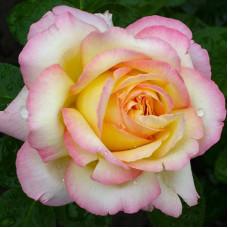 Чайно-гибридные розы Meilland (Мейян), Франция Gloria Dei (Peace, Mme.A.Meilland ) (Глория Дей (Мадам Мейян, Пис)), Meilland