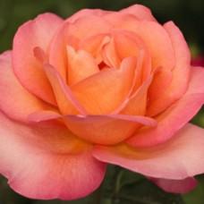 Чайно-гибридные розы Meilland (Мейян), Франция Jazz Festival (Джаз Фестиваль (Одесская)), Meilland