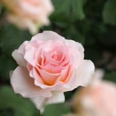 Розы флорибунда Meilland (Мейян), Франция Johann Strauss (Иоганн Штраус), Meilland