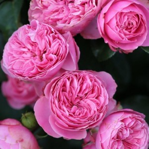 Розы флорибунда Meilland (Мейян), Франция Leonardo da Vinci (Леонардо да Винчи), Meilland