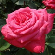 Чайно-гибридные розы Meilland (Мейян), Франция Lolita Lempicka (Лолита Лемпика), Meilland