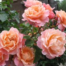 Кустовые розы (шрабы) Meilland (Мейян), Франция Marie Curie (Мари Кюри), Meilland