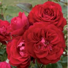 Розы флорибунда Meilland (Мейян), Франция Mona Lisa (Мона Лиза), Meilland
