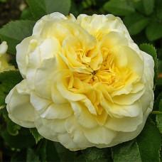 Кустовые розы (шрабы) Meilland (Мейян), Франция Nadia Meillandecor (Надья Мейяндекор), Meilland