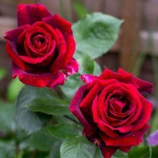 Чайно-гибридные розы Meilland (Мейян), Франция Papa Meilland (Папа Мейян), Meilland
