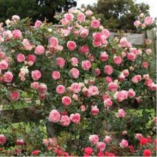 Плетистые розы Meilland (Мейян), Франция Pierre de Ronsard (Eden Rose) (Пьер Де Ронсар (Эден Роуз)), Meilland