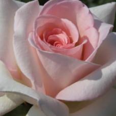 Чайно-гибридные розы Meilland (Мейян), Франция Prince Jardinier (Alexandre Pouchkine) (Принц Жардинье (Александр Пушкин)), Meilland