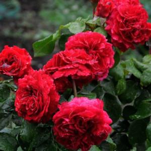 Розы флорибунда Meilland (Мейян), Франция Red Leonardo da Vinci (Ред Леонардо Да Винчи), Meilland